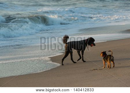 Beautiful black cocker spaniel playing with ball on sand beach