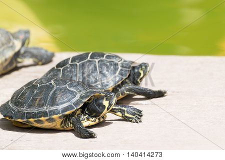 Two small turtles sitting in the sun.