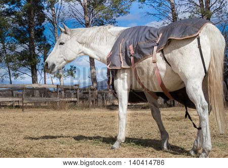 White horse with winter blanket in paddock close up