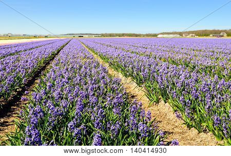Bright purple flowering hyacinth plants in converging beds of a large field in the Netherlands. It's a sunny day in the spring season now.