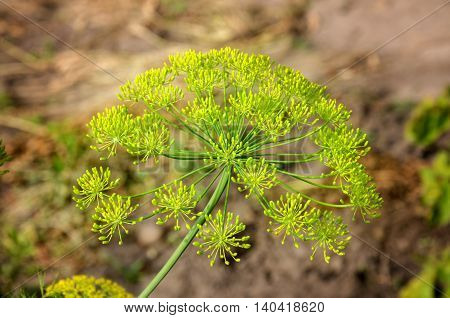 Beautiful yellow inflorescence umbrella species of dill in the garden summer's day on a light background