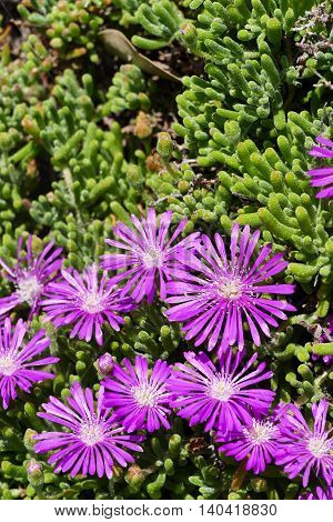 Beautiful Ice Plant