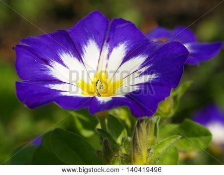 Detail of blossoming convolvolus cultivar Blue Flesh