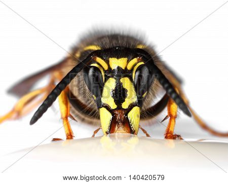 Wasp eating nectar face closeup isolated on white