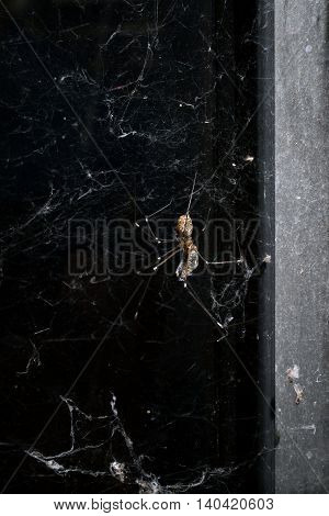 A common orb spider eats a fly that it has caught and wrapped in a web.
