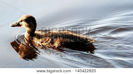 A young duck floats in a local pond