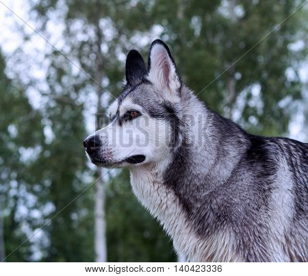 portrait profile of an adult dog breed alaskan malamute, fluffy, walk outdoors ,trees in the background,