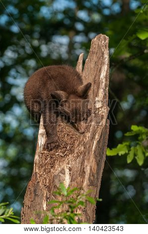 Black Bear Cub (Ursus americanus) Turns to Climb Down Tree - captive animal