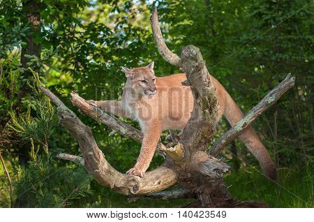 Adult Female Cougar (Puma concolor) Balances - captive animal