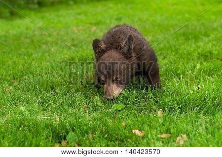 Black Bear Cub (Ursus americanus) in the Grass - captive animal