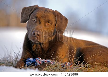Chocolate Labrador Retriever with toy resting in meadow late winter