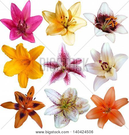 Collection of nine different lily flower heads isolated on white background