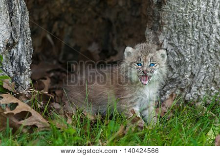 Canada Lynx (Lynx canadensis) Kitten Looks Forward from Within Hollow Tree - captive animal