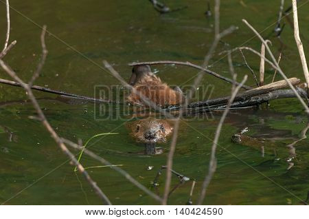 North American Beaver (Castor canadensis) Kit Under Branch - captive animal