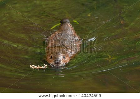 North American Beaver (Castor canadensis) Swims Forward - captive animal