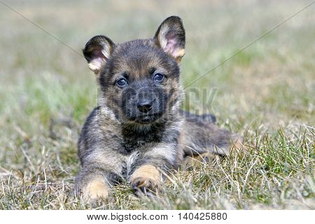 German Shepherd Puppy five weeks old laying on grass