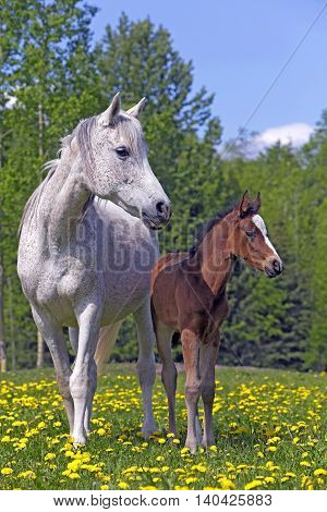 Grey Arabian Mare with few week old Foal at spring pasture.