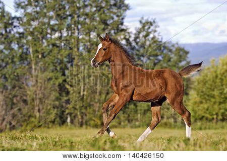 Playful Bay Arabian Foal running at spring pasture