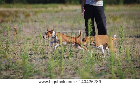 Сoursing Dogs. Basenji Dog Runs After The Bait On The Field
