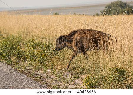A single bison calf in grasslands near Great Salt Lake in Utah crossing the road