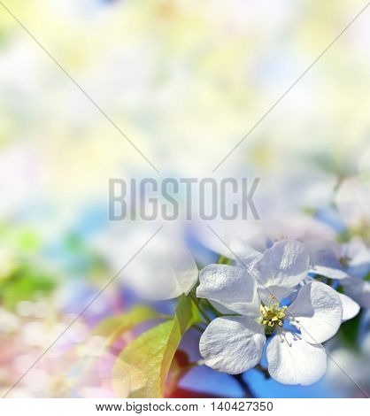spring landscape. Flowering apple tree.  flower. blossom