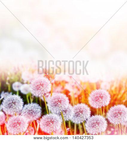 Fluffy dandelion flower against the background of the summer landscape. spring flowers