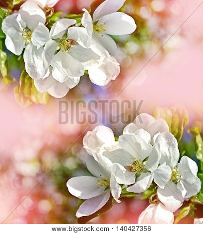 spring landscape. Flowering apple tree. garden. flower