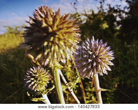 three thistles during the morning light near the city Kadan in czech republic