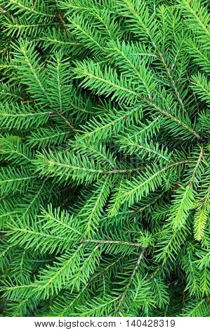 Green needles of young  fir tree.