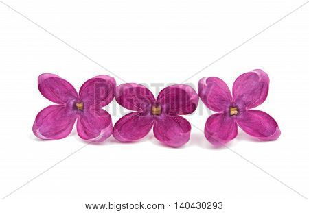 purple lilac flowers on a white background