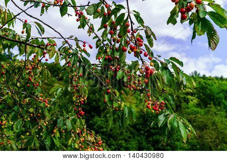 Red Cherry On The Tree, Summer Time
