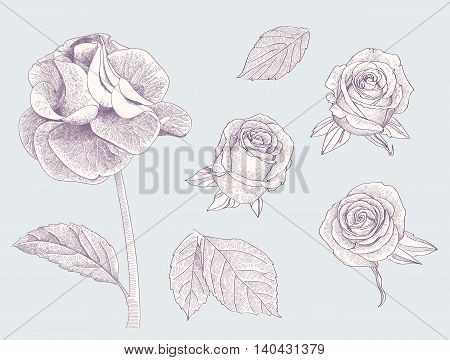 Collection of engraved roses and leafs vector