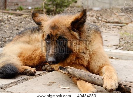 Young red fluffy german shepherd dog plays with stick in the yard. Games with pet outdoor.