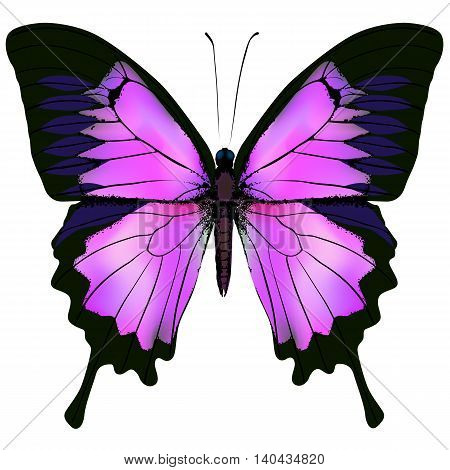 Butterfly. Vector illustration of beautiful pink and purple butterfly isolated on white background