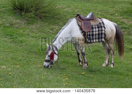 White horse with saddle grazes in a meadow. Animals