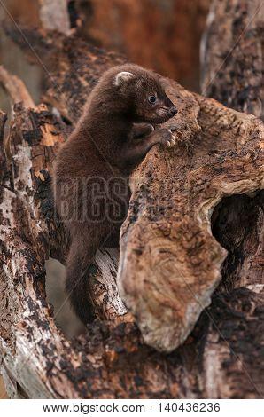 Fisher (Martes pennanti) Kit Profile on Log - captive animal