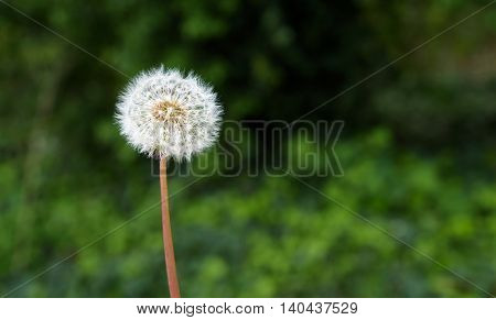 Closeup of dandelion in full seed, with ivy background