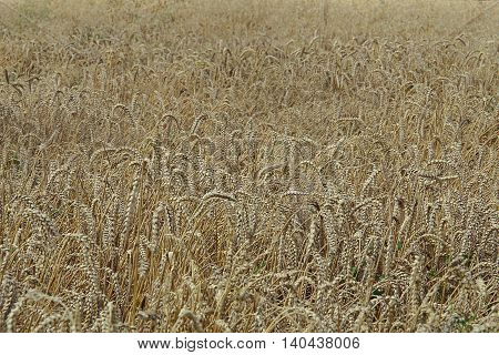 Wheat field. Spikes bent under the weight of grains.