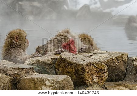 Japanese Snow Monkey Macaque In Hot Spring Onsen Jigokudan Park, Nakano, Japan