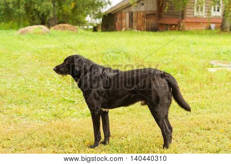 Sad Black dog looking in the direction of waiting for the host
