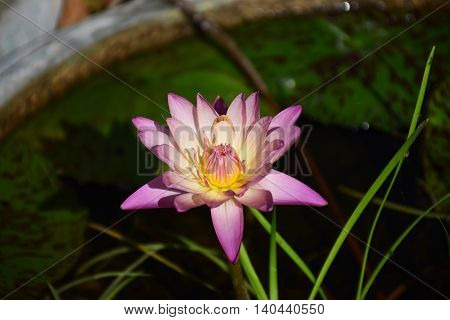 a Pink lotus flower on blur background.