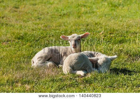 closeup of two newborn lambs resting on meadow