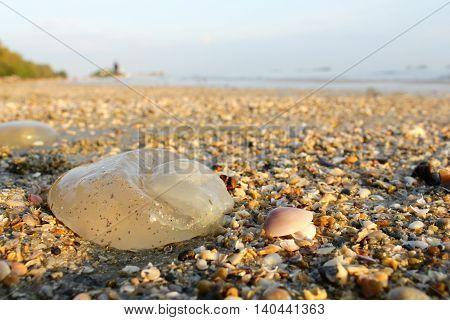 Dead jellyfish aground on a beach in Thailand.