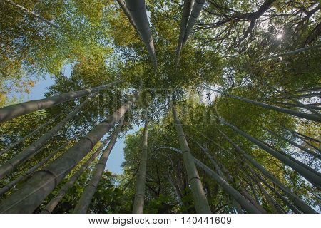 green bamboo grove in garden Kyoto, Japan  background