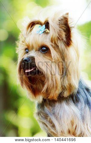 Beautiful little decorative dog Yorkshire Terrier portrait summer outdoors face closeup
