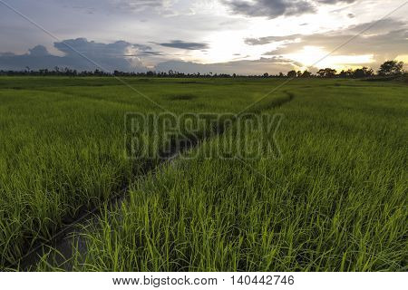 Paddy Field Showing Growing Rice After First Rains Of The Rainy Season Asia