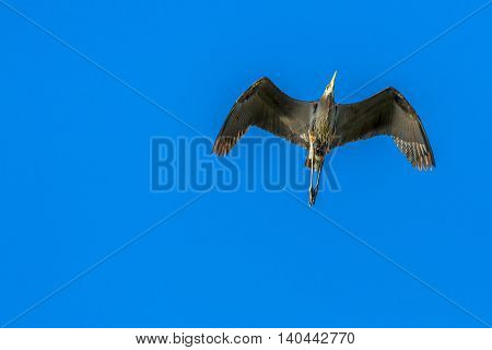 a great blue heron flying through the blue sky.