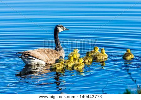 a family of geese swimming on a lake