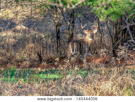 Large white-tailed deer buck standing alert in a field.