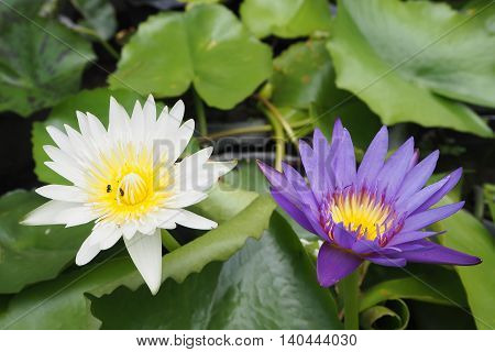 white and purple water lily for worship in Buddhism.